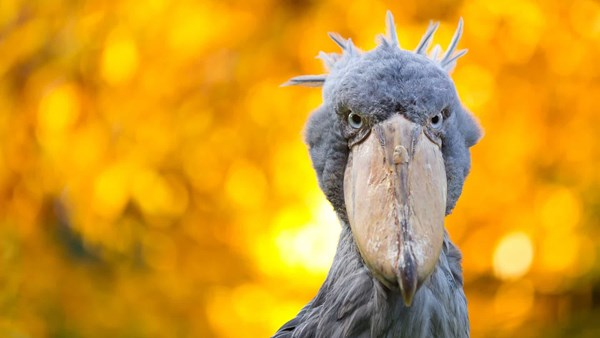 Shoebill close up, Uganda