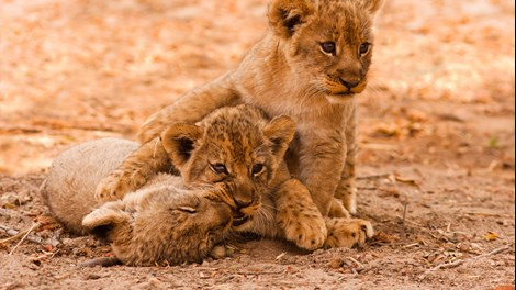 Lion cubs, Zambia
