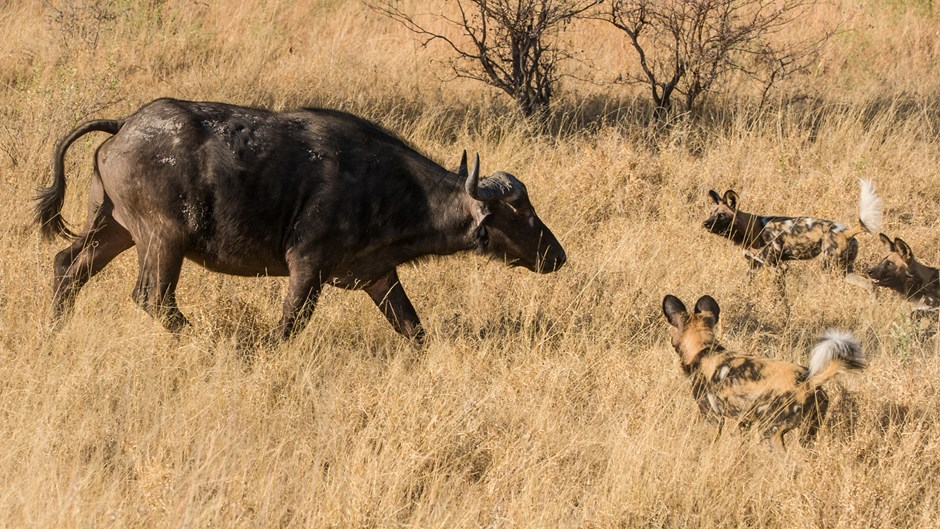 Cape buffalo facing off against wild dogs on the Liuwa Plains, Richard Denyer, Zambia