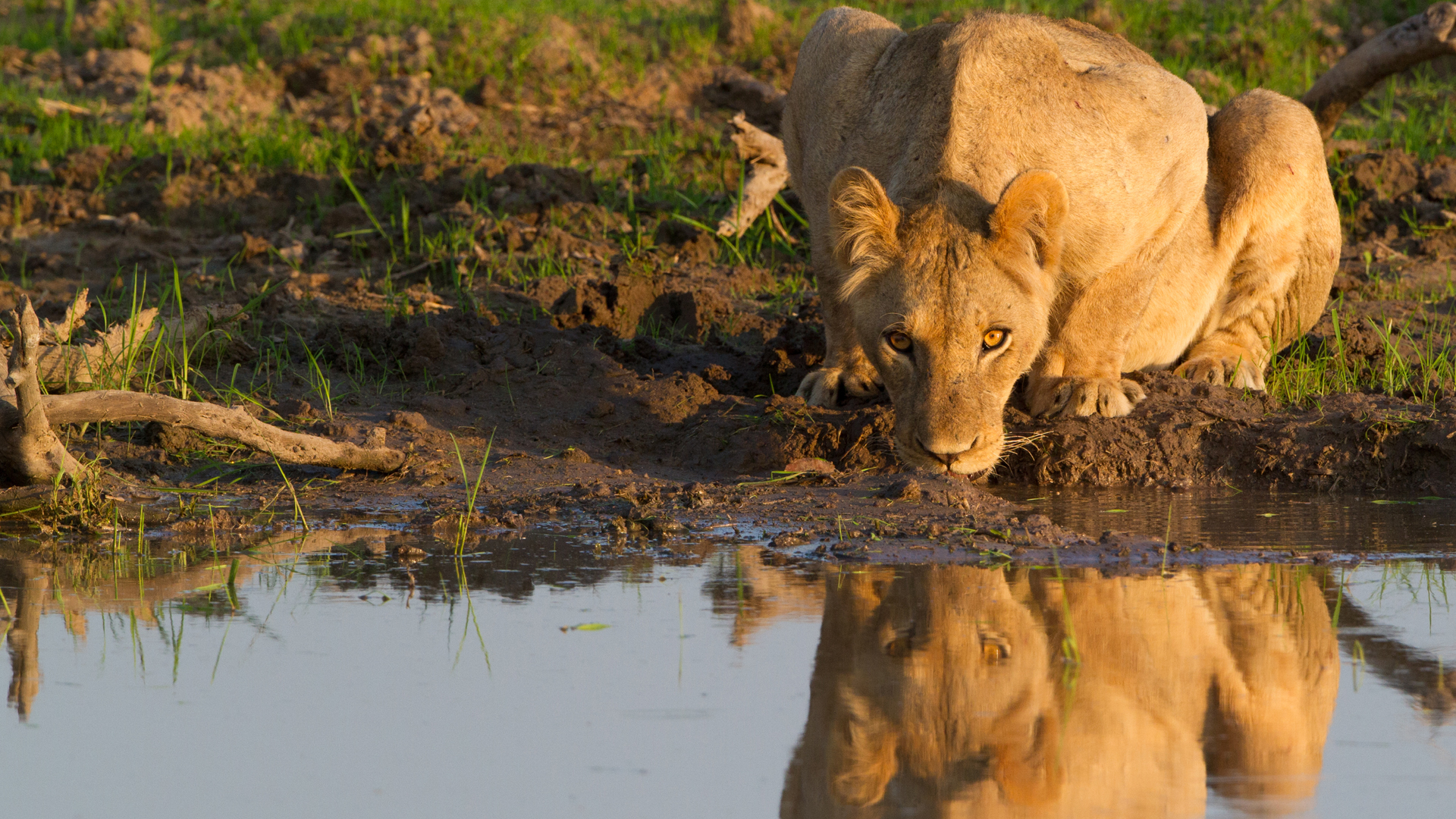 Zimbabwe lion drinking from a pool