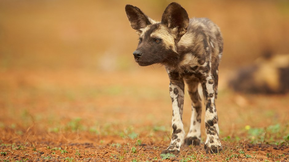Wild dog puppy, Zimbabwe