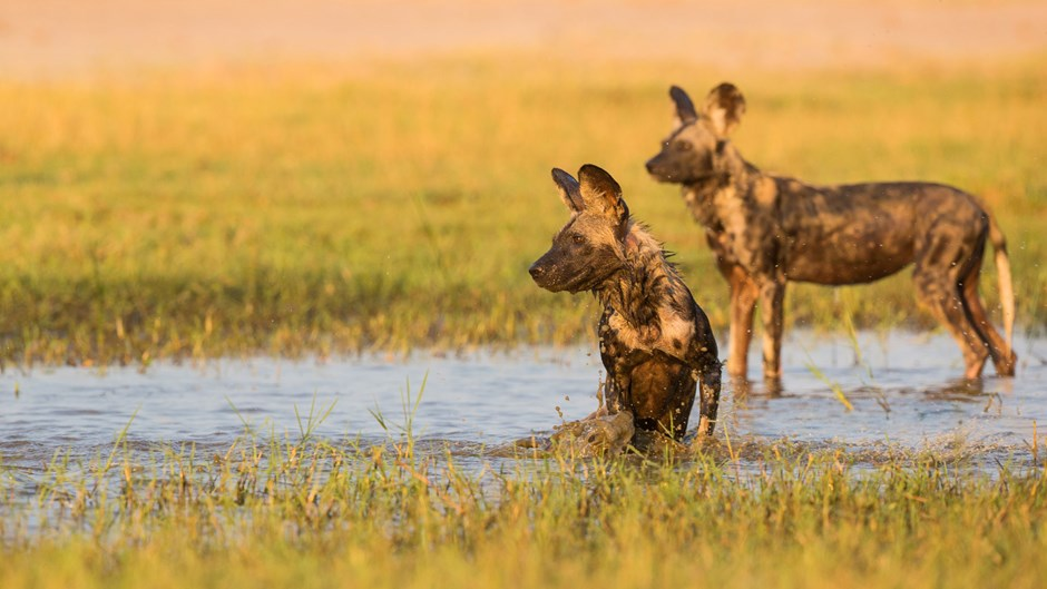 Wild dogs splashing,Zimbabwe
