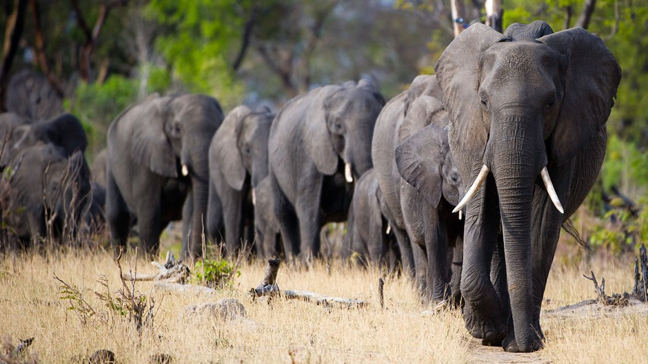 Zimbabwe elephant herd at Little Makalolo