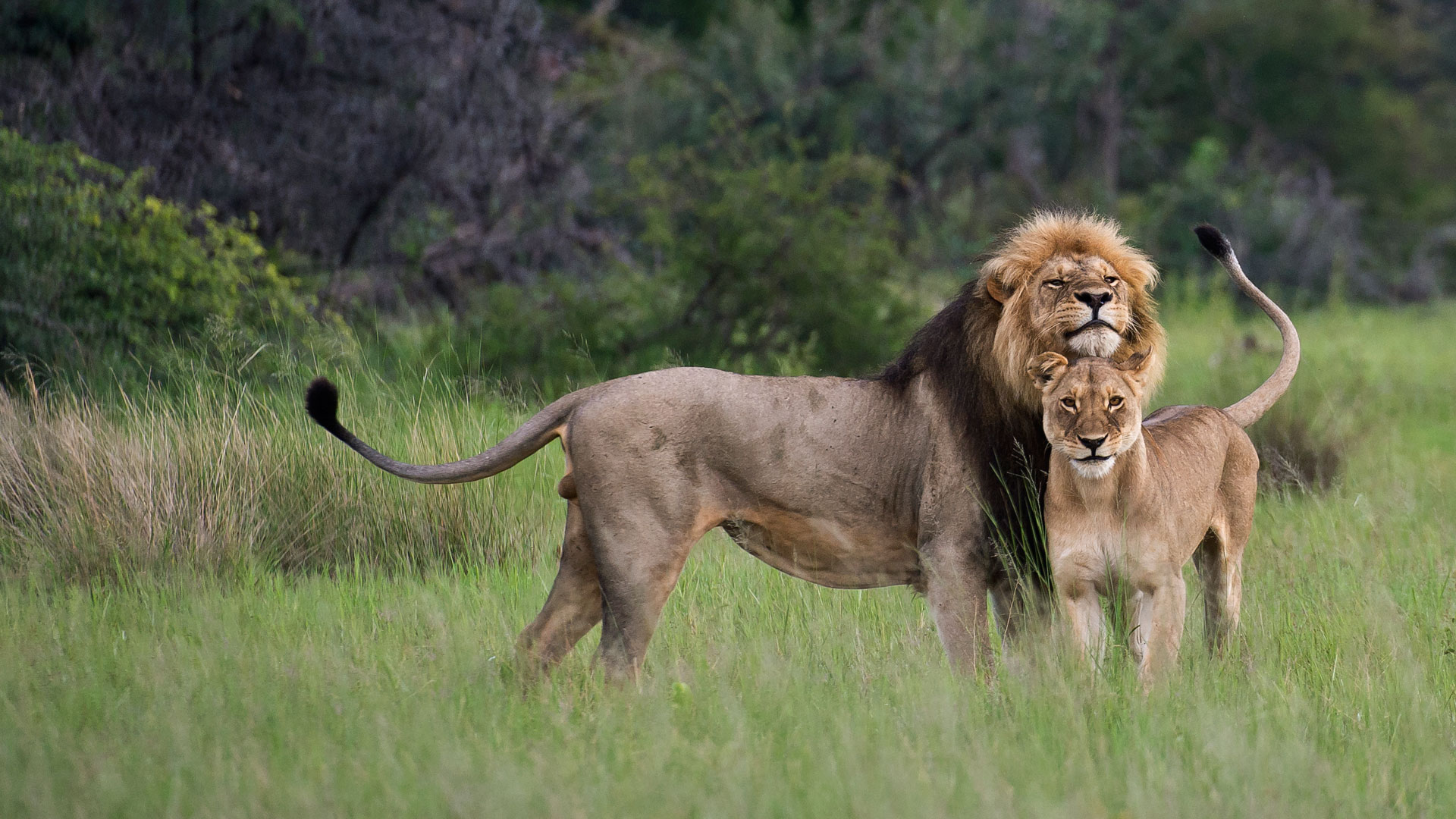 Zimbabwe Lions at Davisons Camp