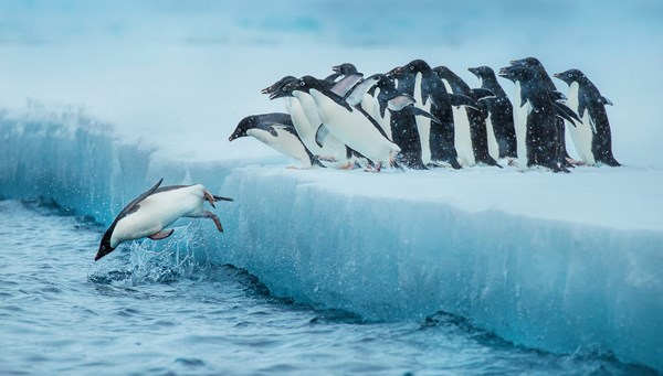 Leaping Adelie penguins in Antarctica