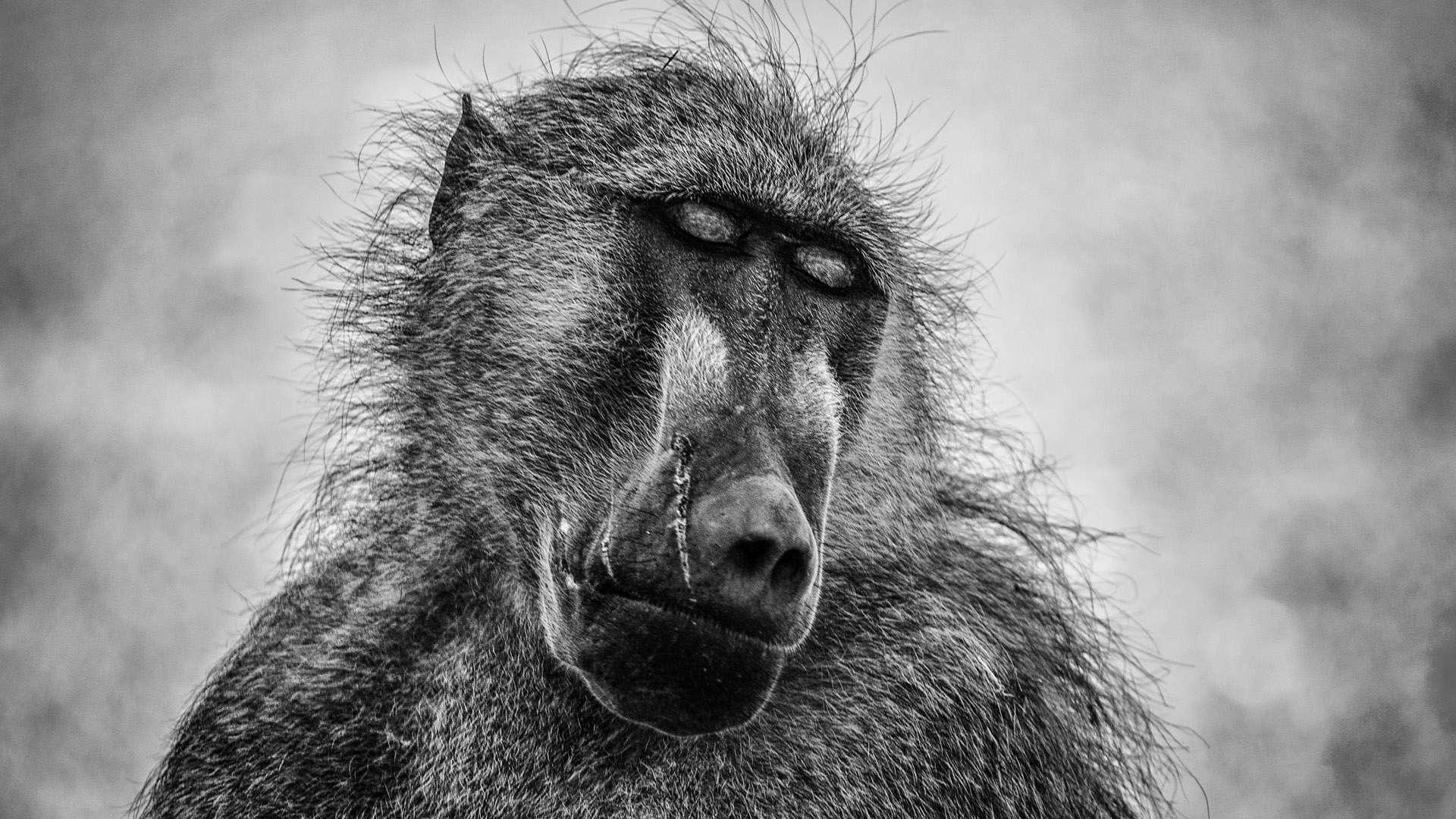 Pensive baboon by Shannon Wild