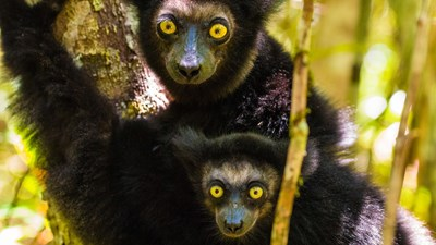 Indri with baby by Shannon Wild