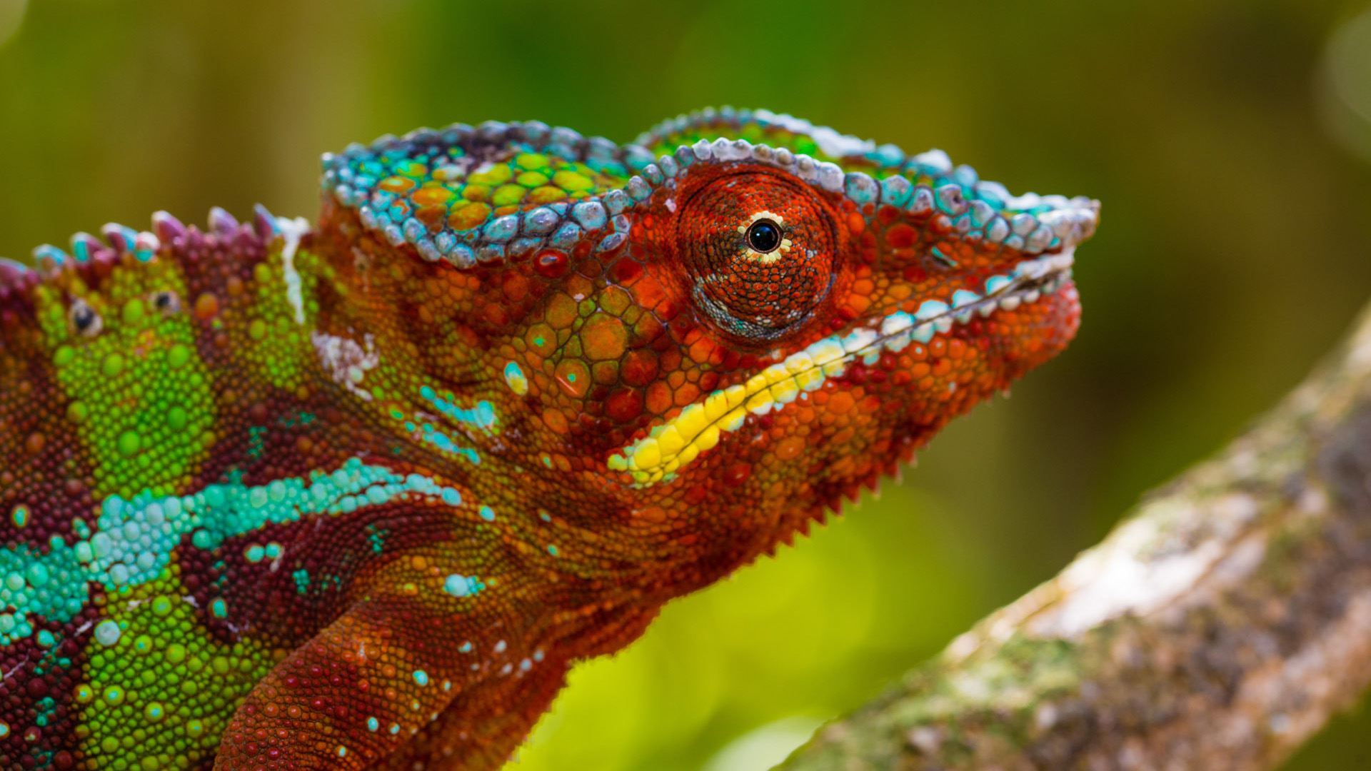Panther chameleon by Shannon Wild
