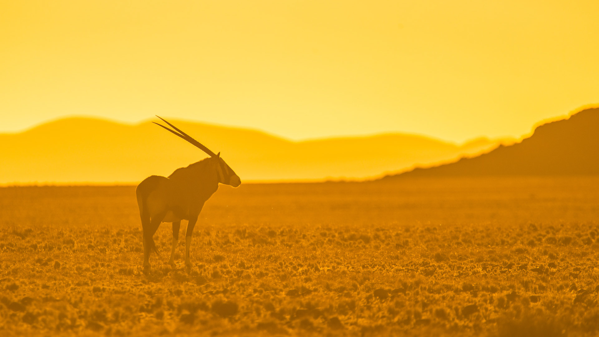 Oryx at sunset by Shannon Wild
