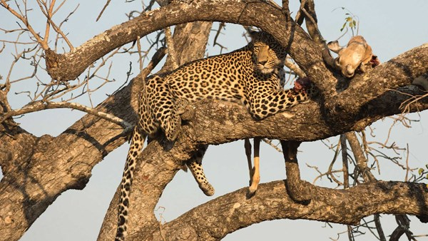 African leopard hunting