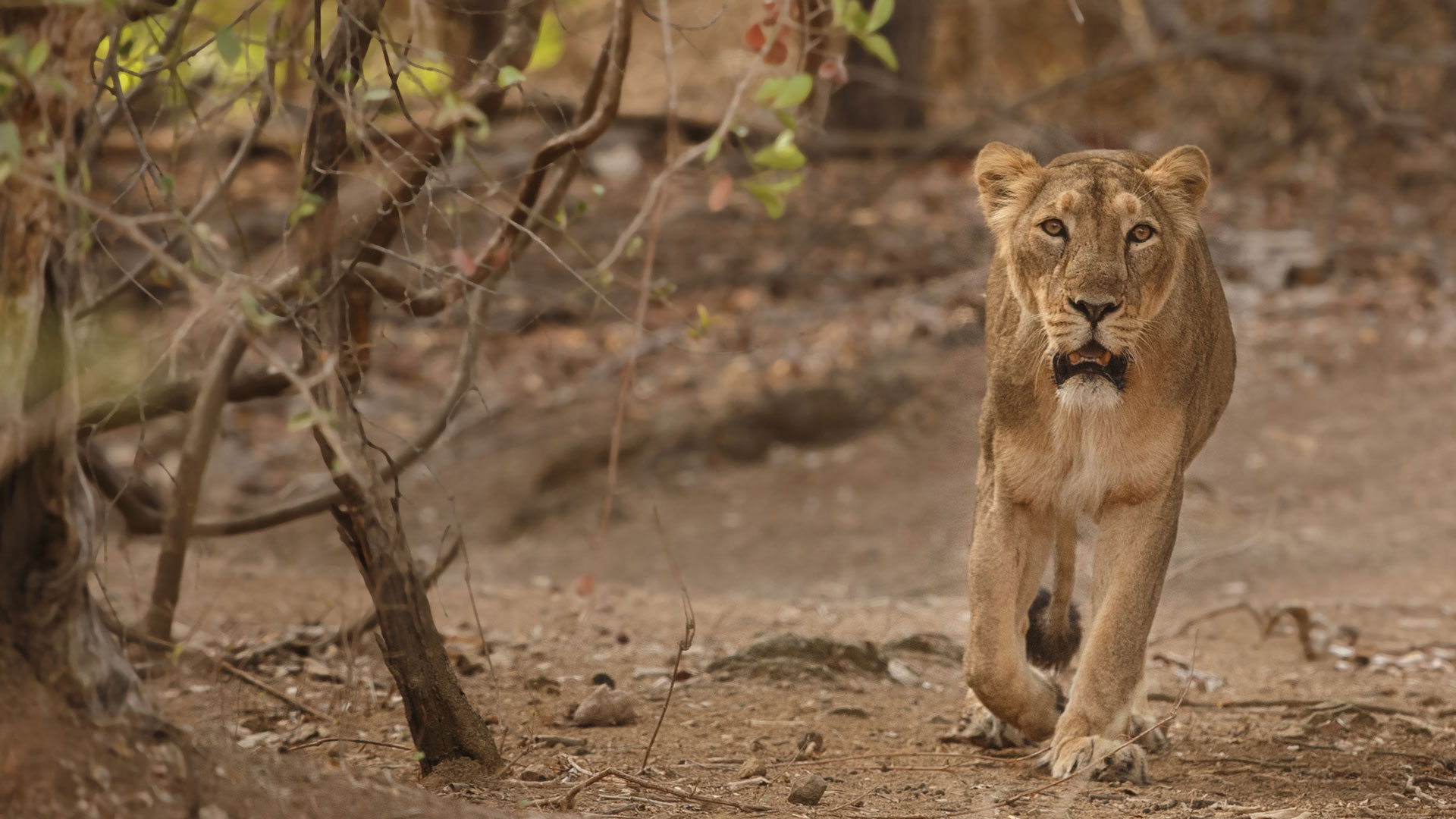 Asiatic Lion, India