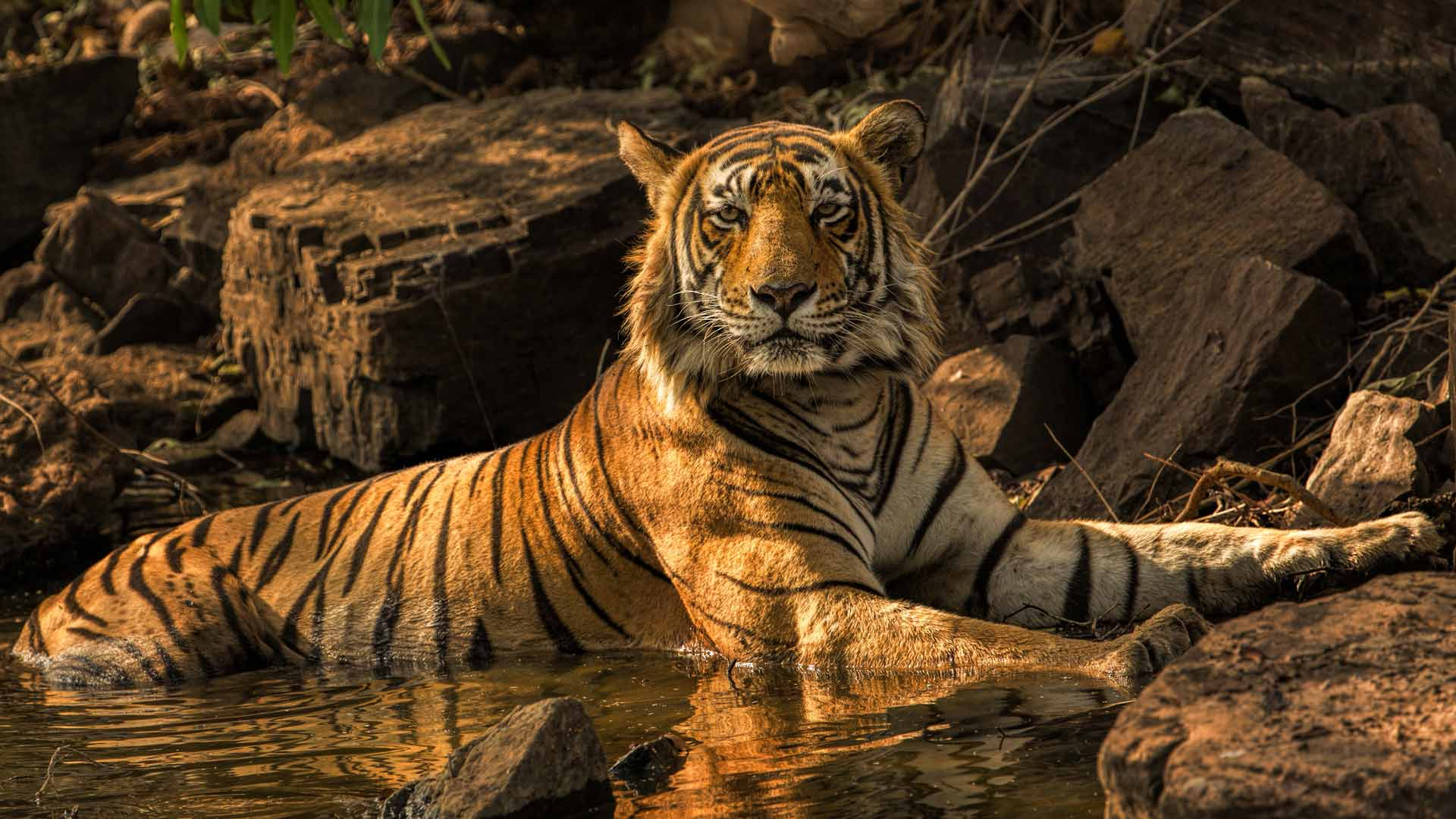 What is the best place to see tigers in India? - Natural World Safaris