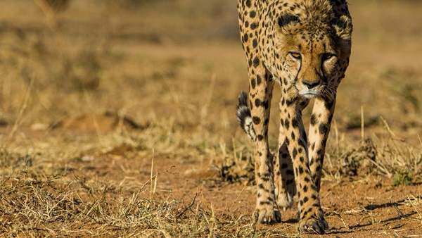 Namibia safaris; cheetah close up