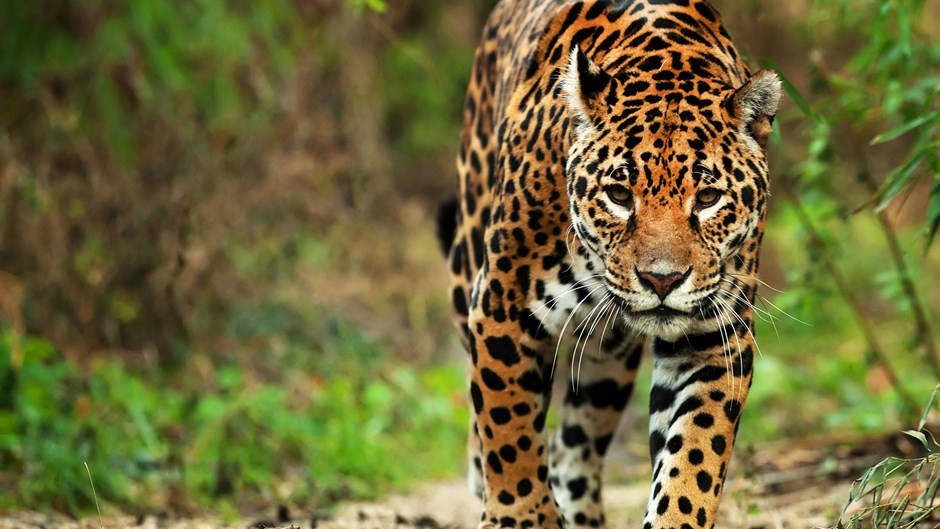 Jaguar safari Brazil