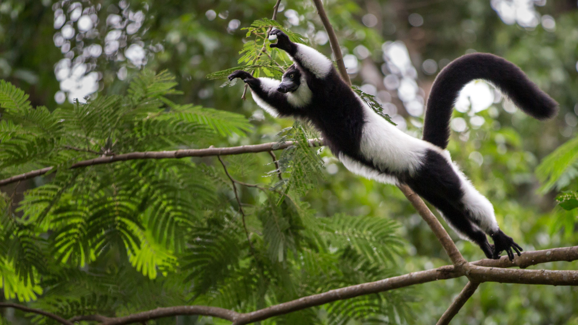 Black and Whicte Ruffed Lemur, Madagascar