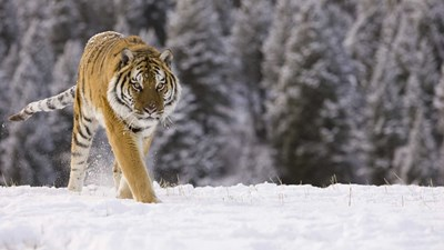 Siberian tiger safari