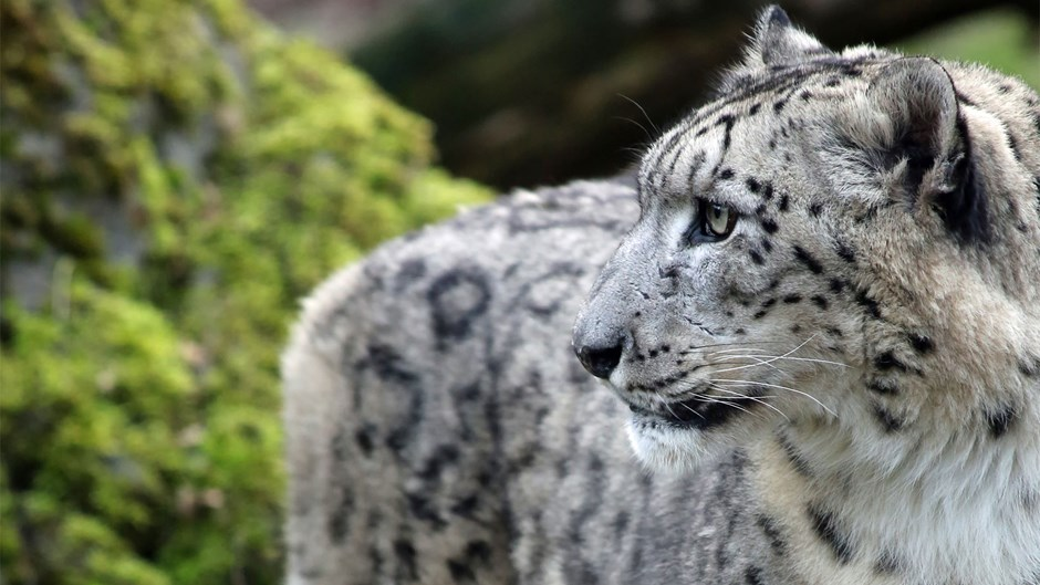 Snow leopard tracking in Ladakh, Himalayas