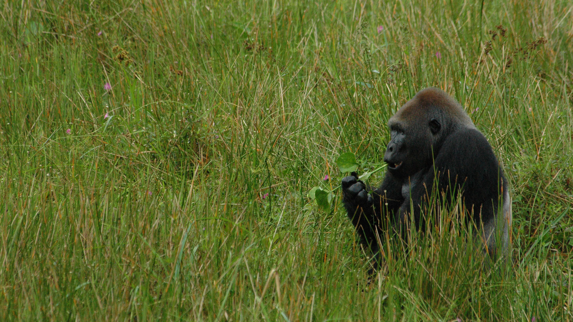 Lowland gorilla, Republic of Congo