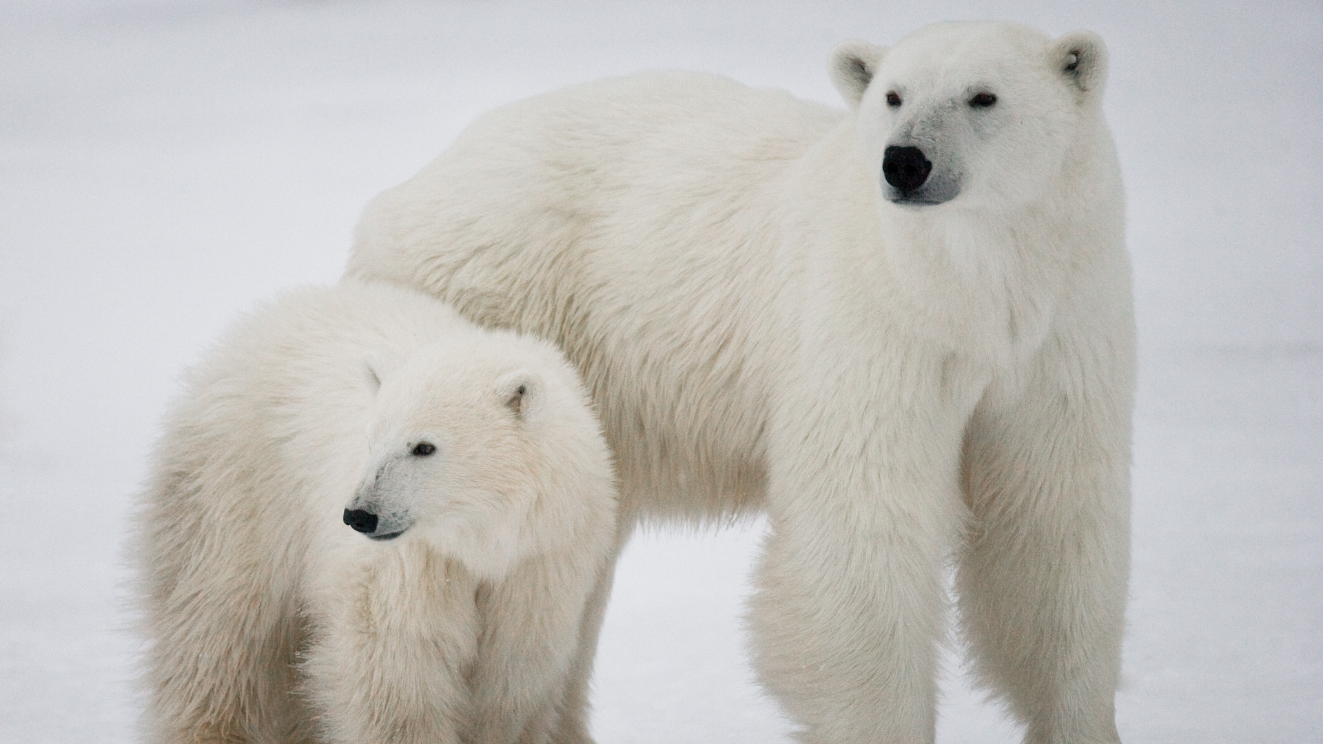 Jessica Tiffin Travel Story: Polar Bear with Cub