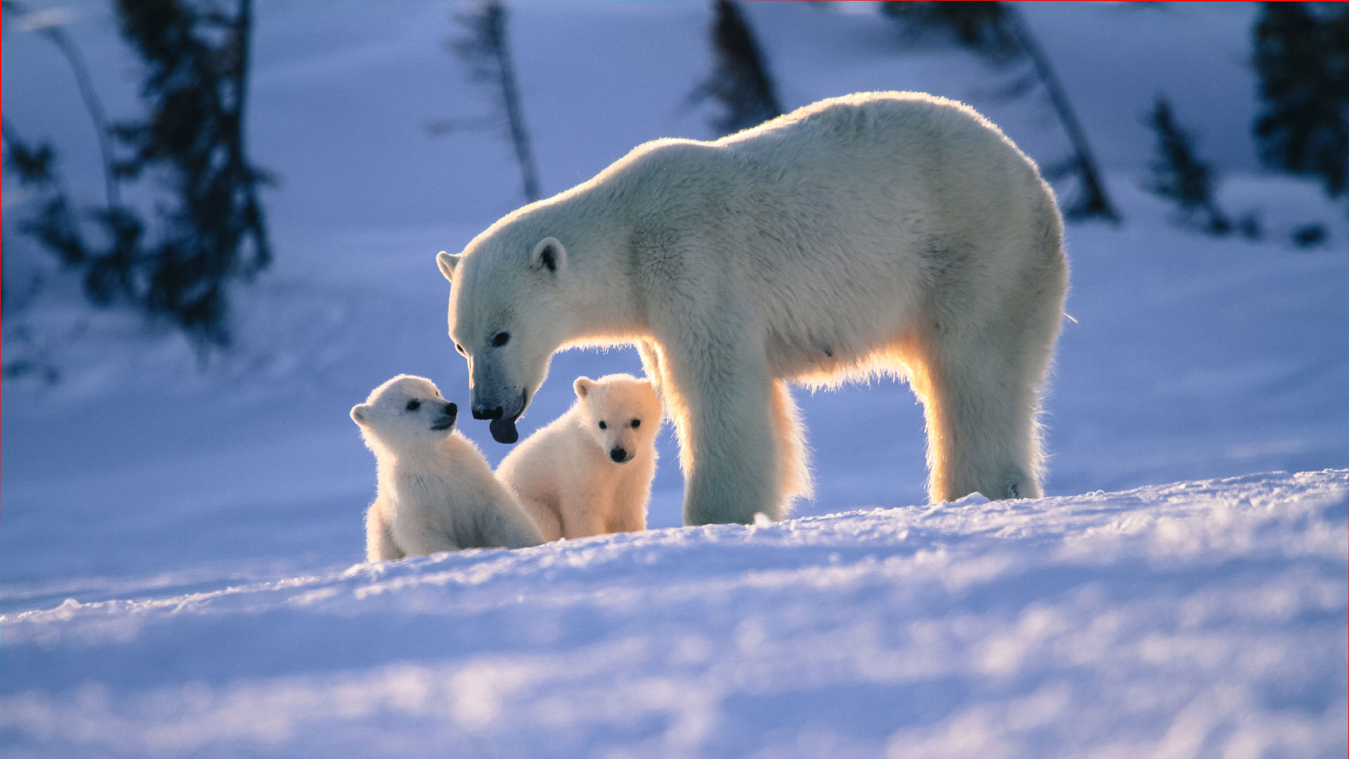Newborn Polar Bear Cubs Lodge, Arctic Canada