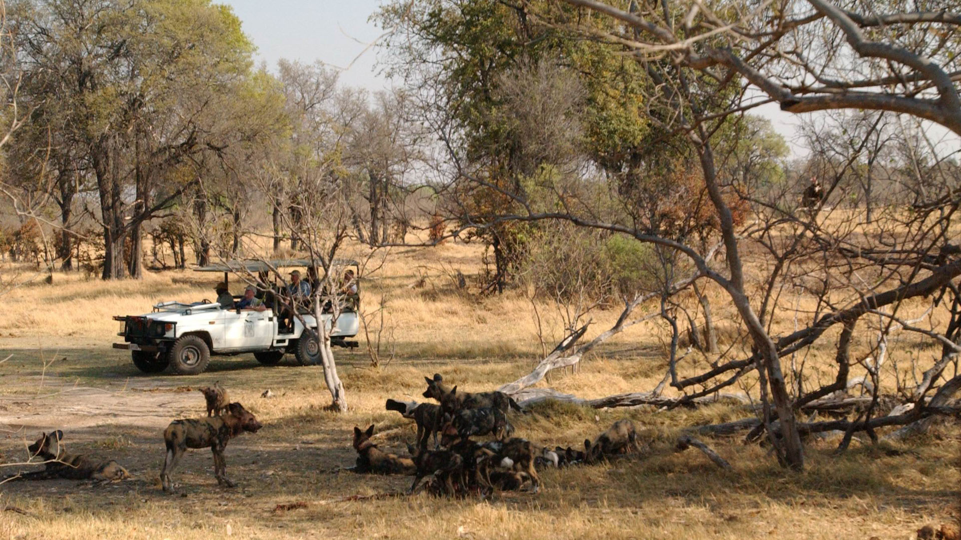 Game drive, Camp Moremi
