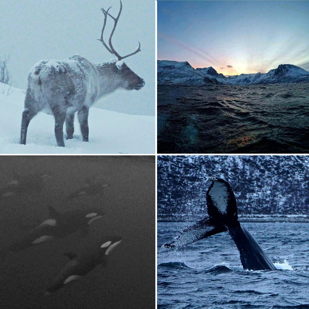 Norway Killer Whales Safari collage - Sam Tibbetts