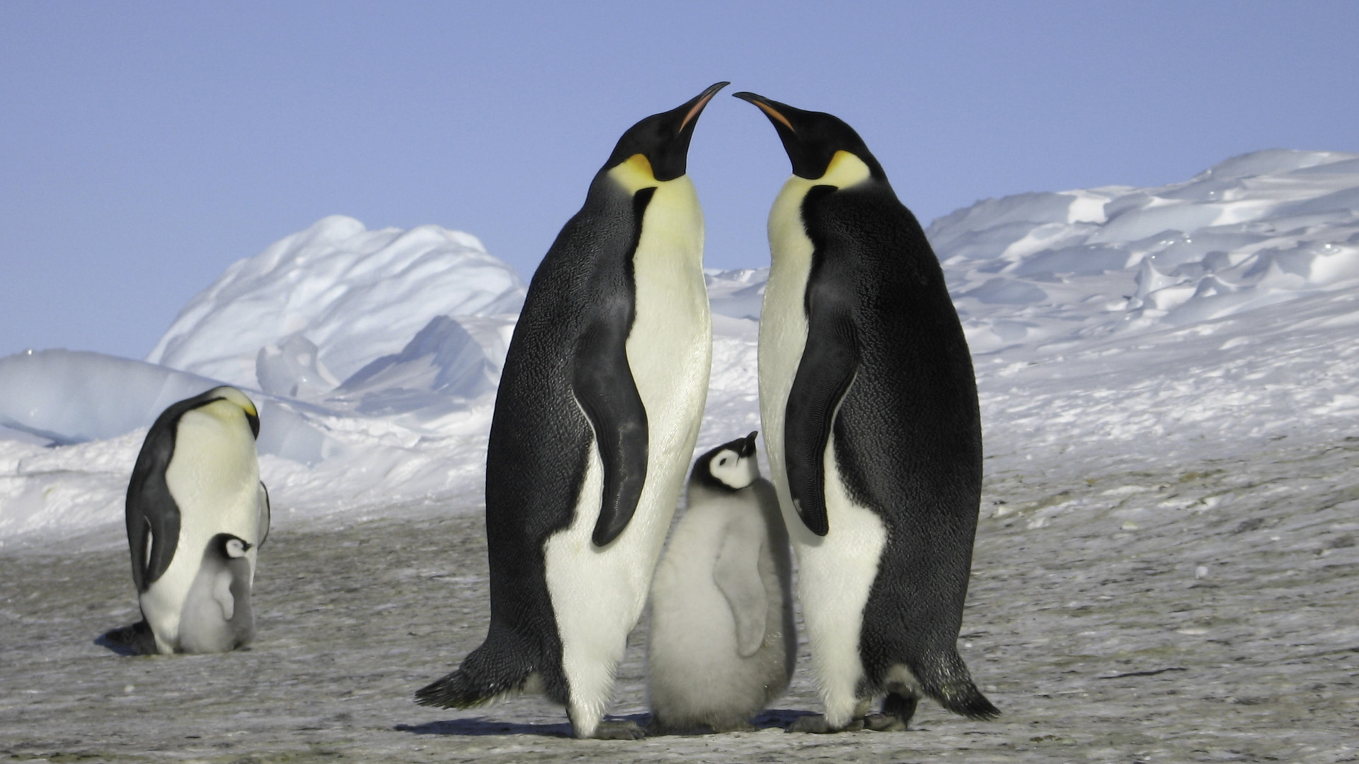 Emperor Penguins Escape Velocity Photo Gallery Pictures More
