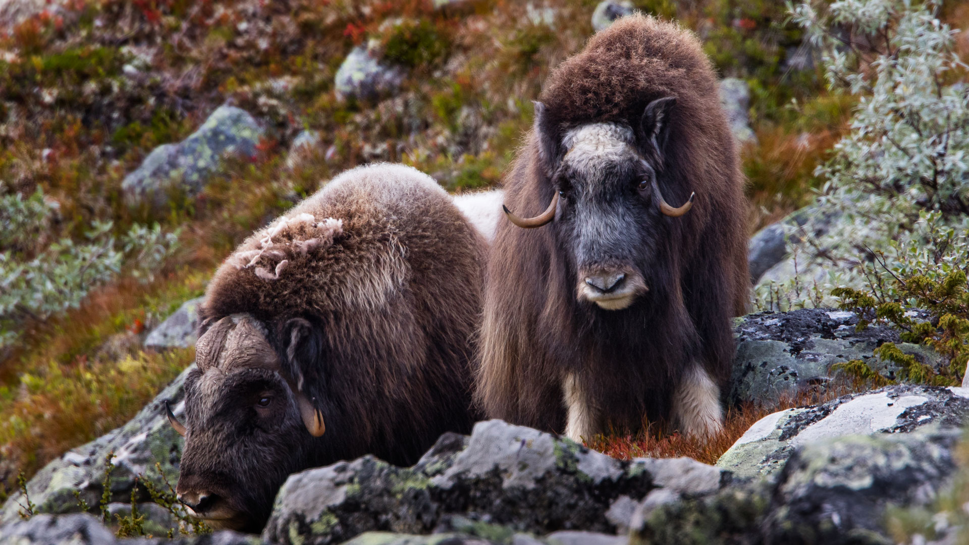 Image result for greenland wildlife