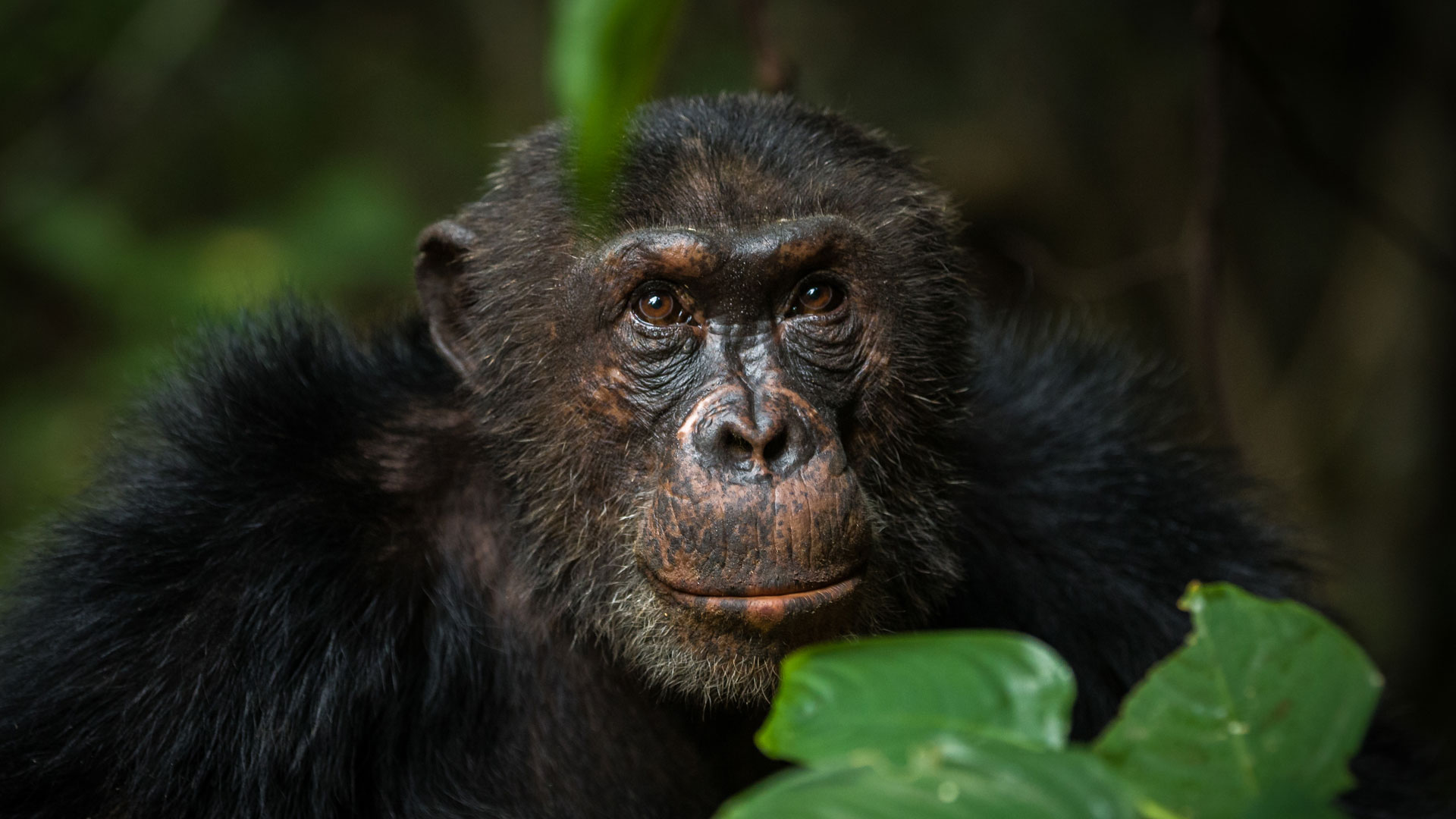 a look at acts of cannibalism and infanticides in chimpanzees Infanticide and cannibalism in a free-ranging plurally breeding group of common marmosets (callithrix  infanticide and cannibalism  cannibalism, this act seemed .