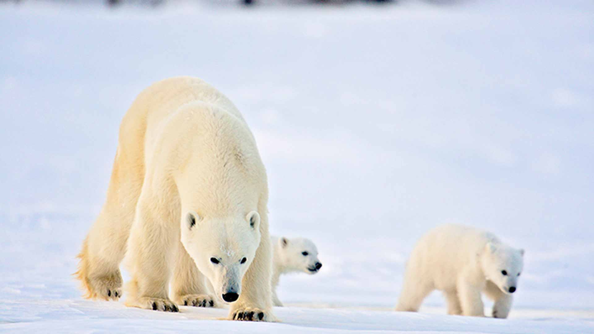 an overview of the polar bear The polar bear (ursus maritimus) is a hypercarnivorous bear whose native range lies largely within the arctic circle, encompassing the arctic ocean, .