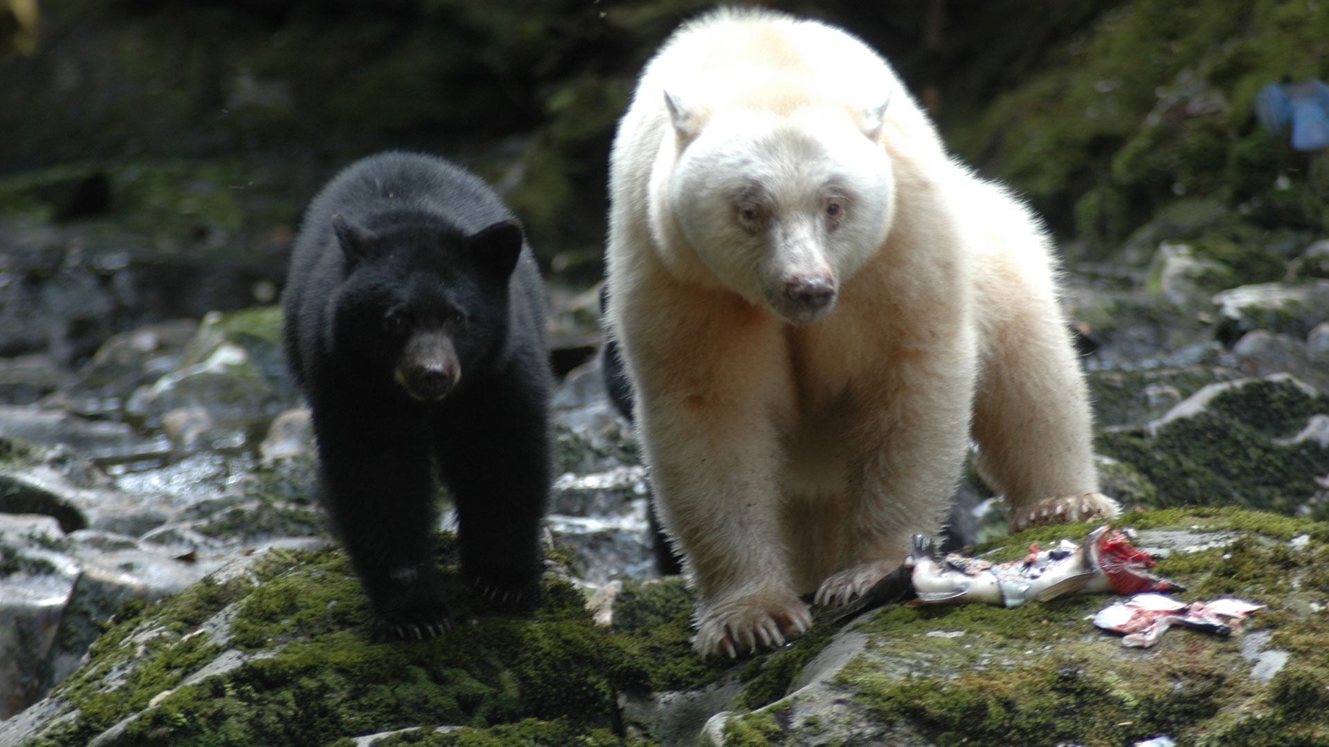 11 amazing facts about Canada's bear species
