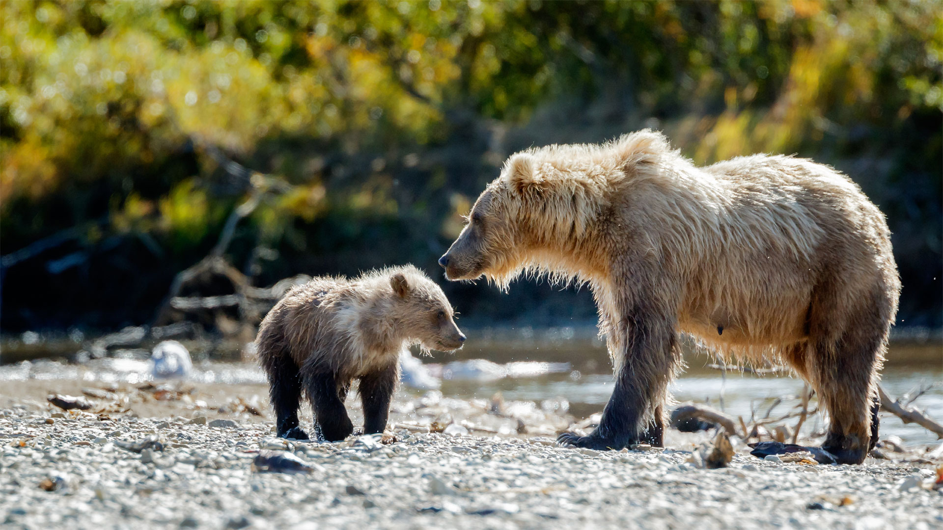 Grizzly Bear Diet And Food