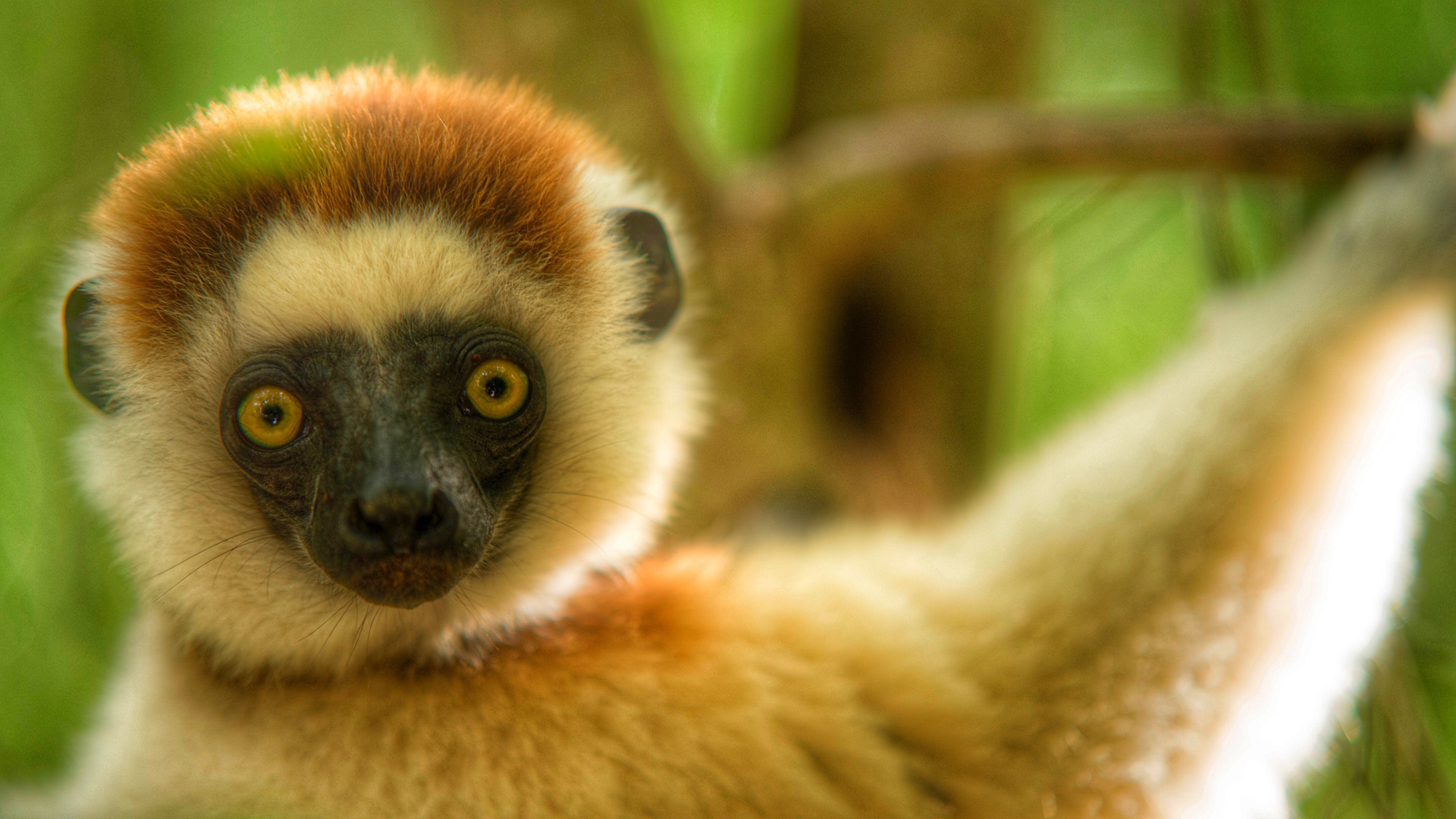 lemurs in madagascar assignment essay The red-ruffed lemur is found in the rainforests of the masoala peninsula in northeastern madagascar red-ruffed lemurs live in groups and practice a form of communal.
