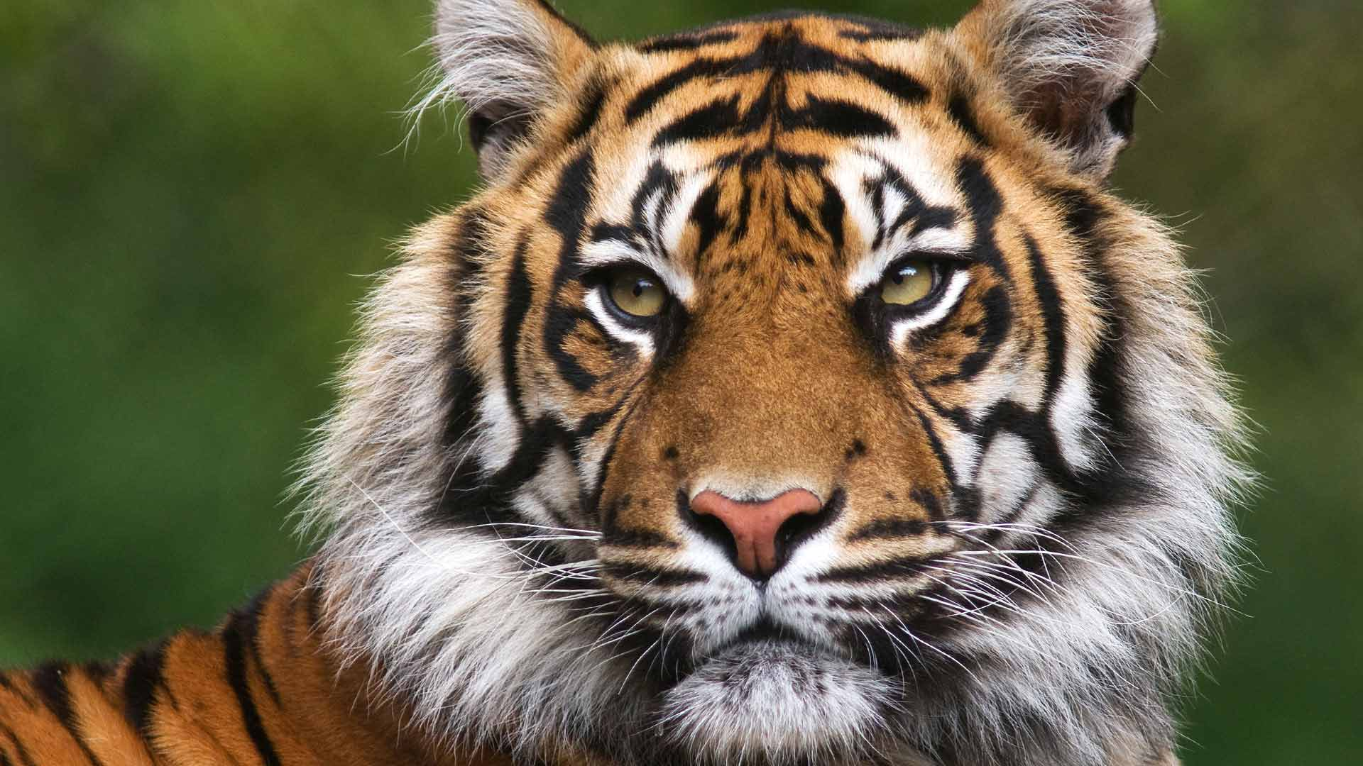 What is the best place to see tigers in india natural - Show me a picture of the tiger ...