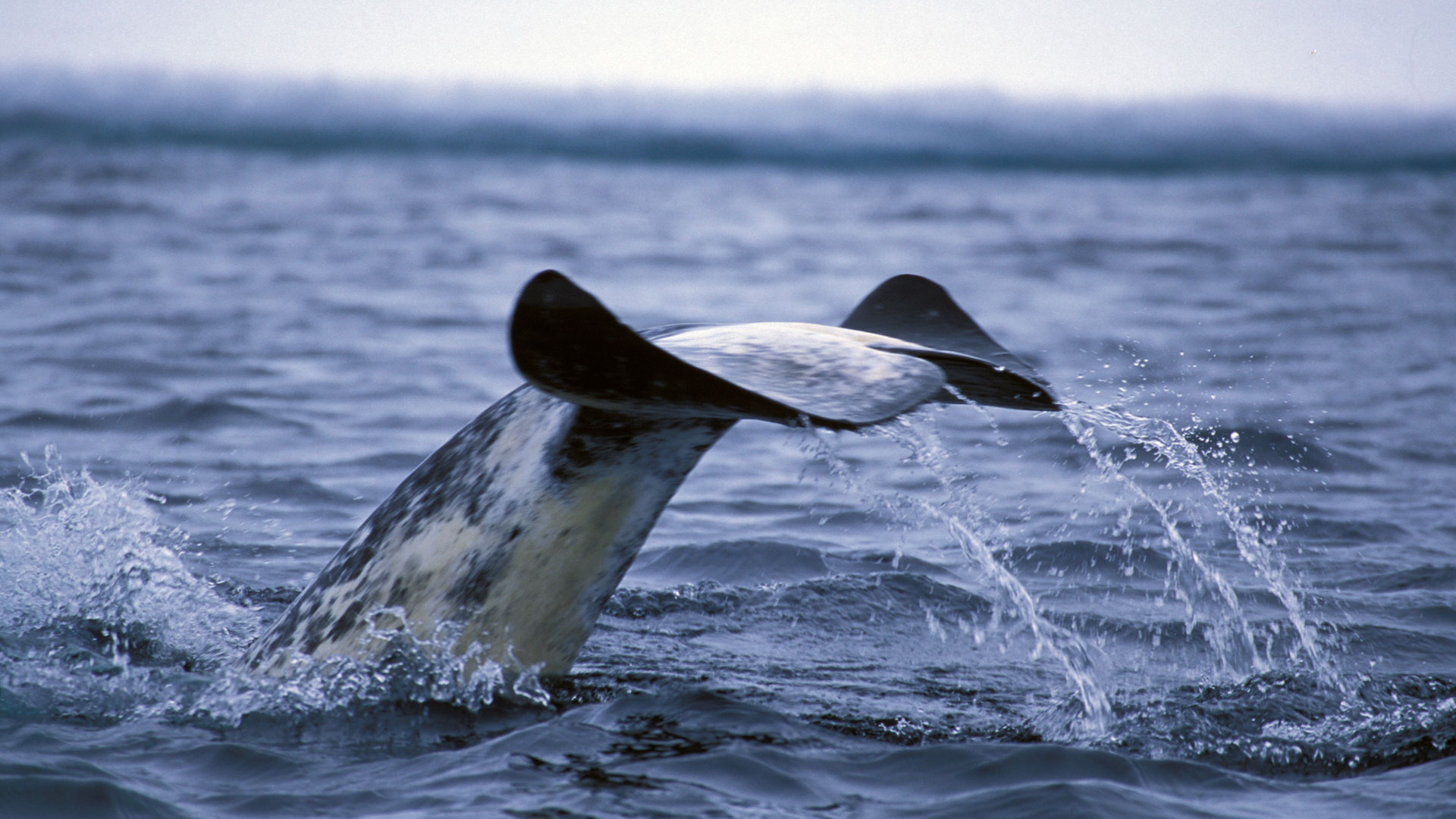 narwhal whale watching holidays natural world safaris