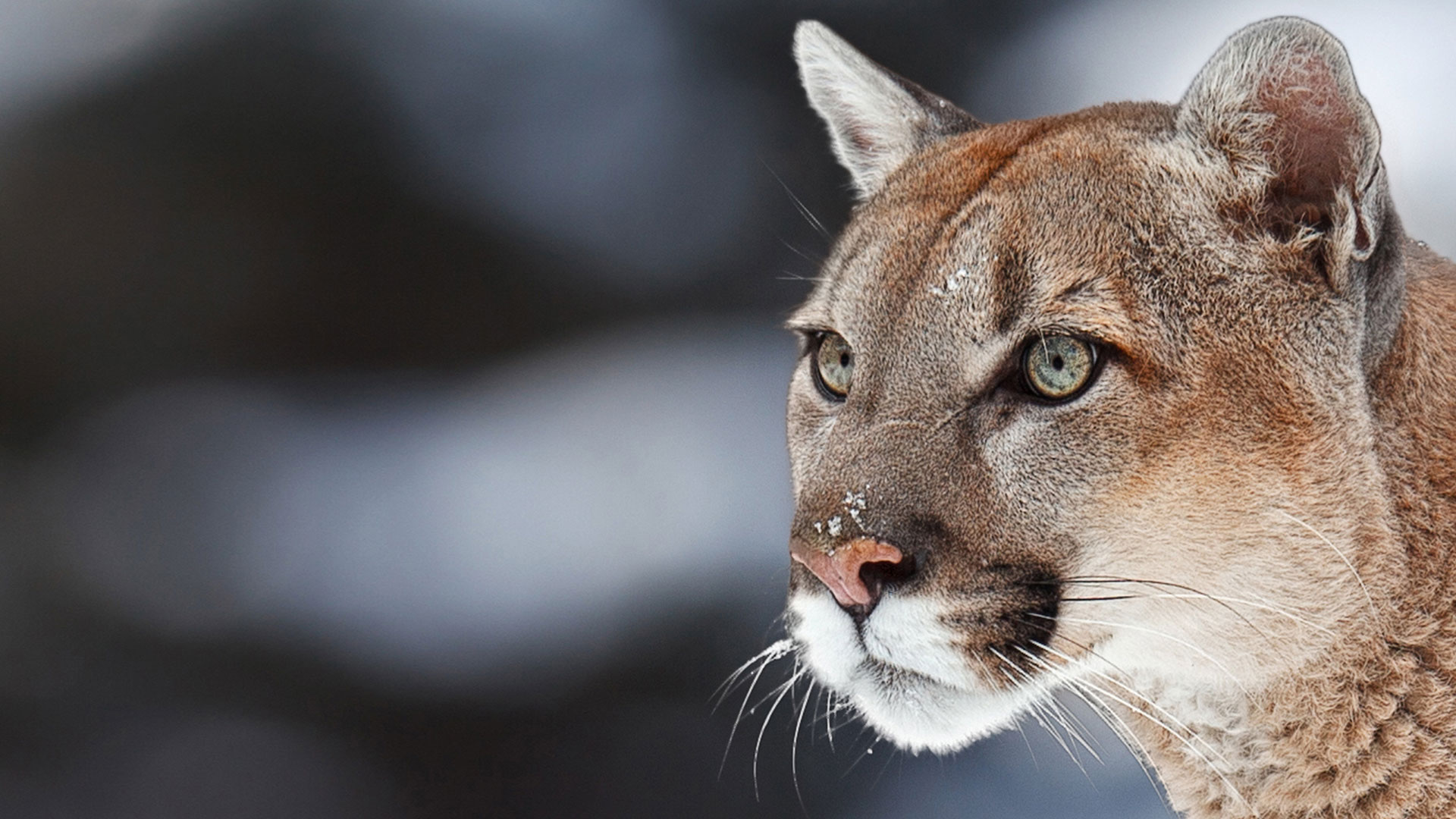 Cougar Wallpapers and Background Images
