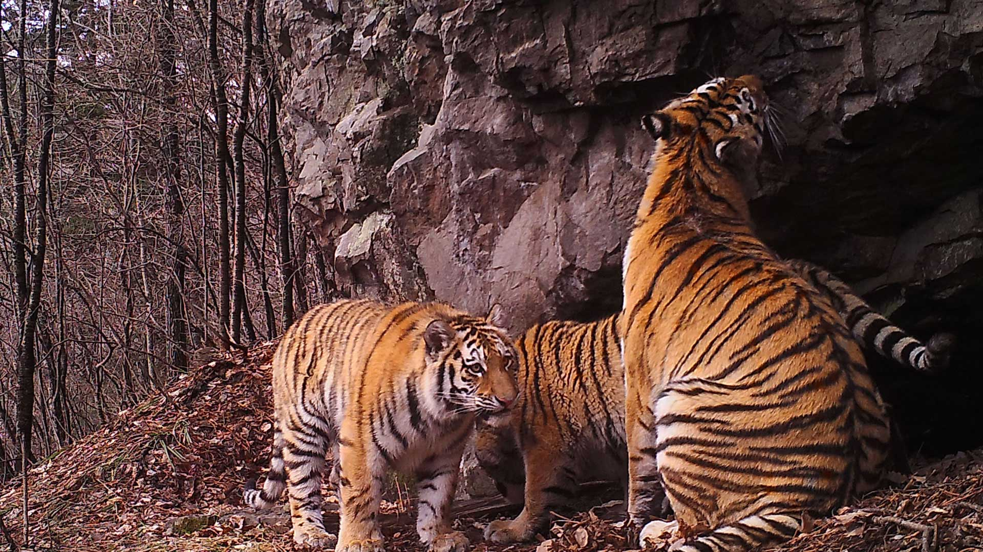 size of the siberian tiger The siberian tiger is one of the most powerful predators on earth elusive siberian tigers captured in brilliant images in size this is because.