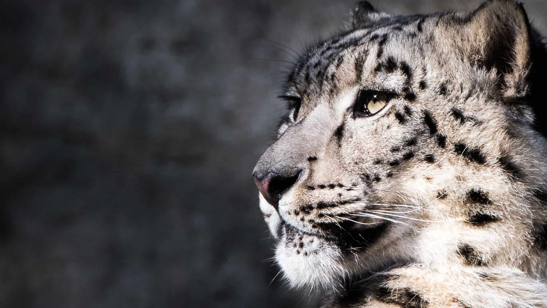 Majestic Snow Leopard Photography By Tim Flach
